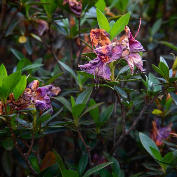 brendanrowlands-azelas-flower-wilting