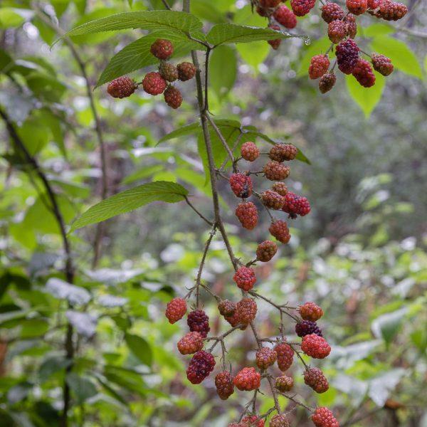 brendanrowlands-blackberries-wild-bramble