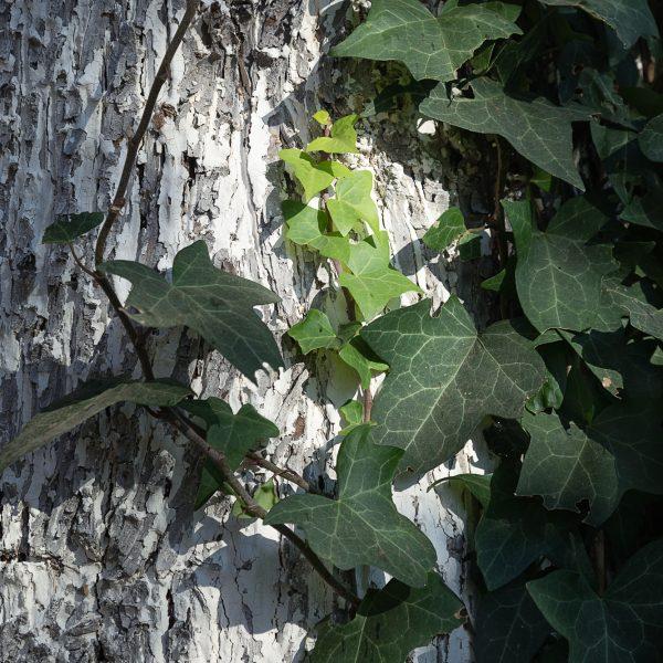 brendanrowlands-ivy-light-shadow