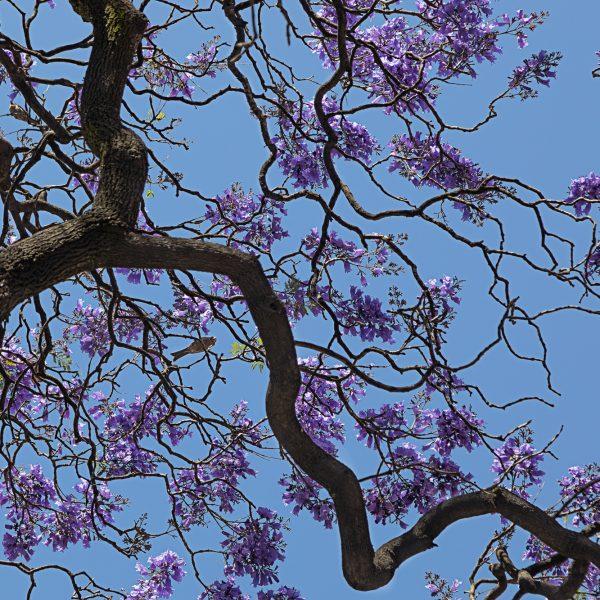 brendanrowlands-jacaranda.branches-bluesky