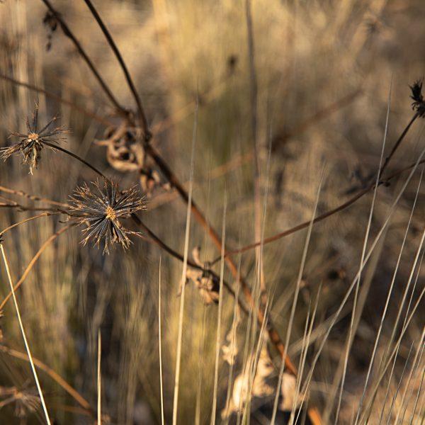 brendanrowlands-plant-dried-goldenhour
